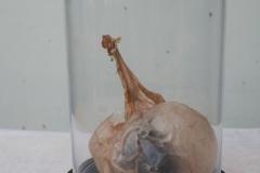 Zonder titel | Glaskunststof & varkensblaas | 20x15cm | 2018